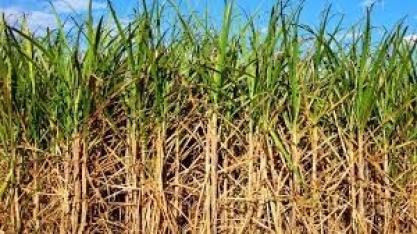 SP – Cerca de 70 municípios serão alvo de pesquisa de atualização da safra de cana-de-açúcar