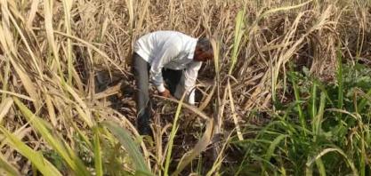 Açúcar: monções na Ásia confirmam USDA e derrubam os contratos futuros em série