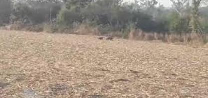 Operadores de colhedora de cana em Mato Grosso encontram onças- pintadas no canavial