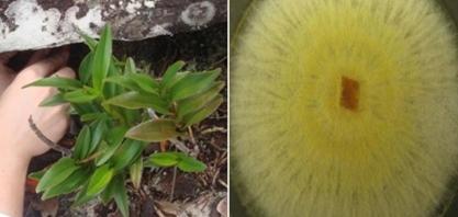 Pesquisadores da UFG identificam fungo que pode reduzir o uso de agrotóxicos em plantações de arroz, tomate e cana-de-açúcar