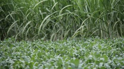 Cocamar avança com o grão em áreas de canaviais