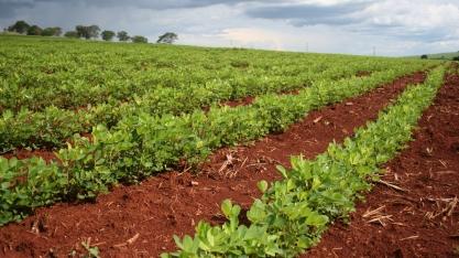 Previsão de Safra: com aumento de área, produção e produtividade, Soja e Amendoim são os destaques do levantamento