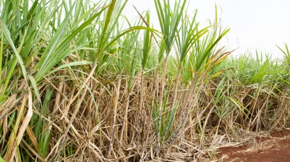 Menor espaçamento entrelinhas de cana-de-açúcar gera maior produtividade