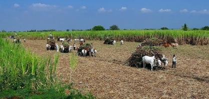 Colheita de cana-de-açúcar da Índia tem atrasos com impactos da Covid-19 no país