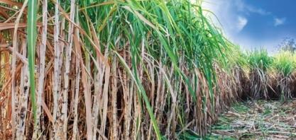 IHARA apresenta soluções para o controle de pragas na cana no InsectShow 2020