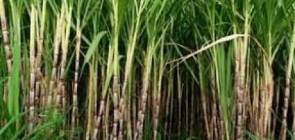 RIO DE JANEIRO – Pesquisa atualiza dados das safras de café e cana-de-açúcar no estado
