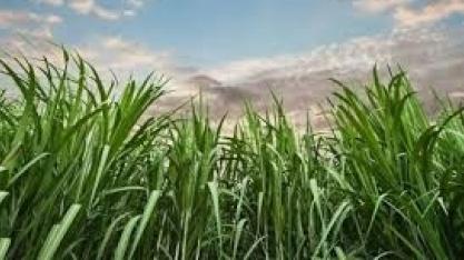 Produção de açúcar deve aumentar 43%
