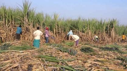 Açúcar: USDA derruba teto dos altistas de plantão desta época e ainda falta a Índia para completar