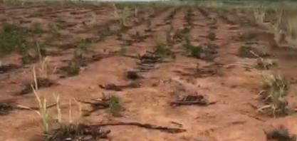 Seca mata a cana-soca na Zona da Mata Norte pernambucana