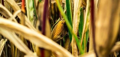 Produção de etanol de milho se destaca na entressafra da cana