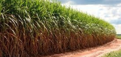 RIO DE JANEIRO – Dados da safra de cana-de-açúcar 2021/2022 são atualizados