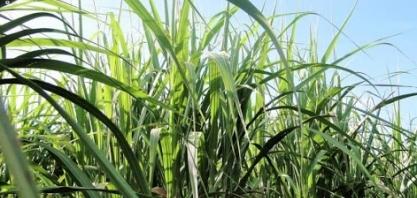 As vantagens das variedades de cana OGM