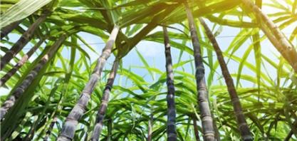 UISA vai pesquisar soluções biológicas para cana em MT