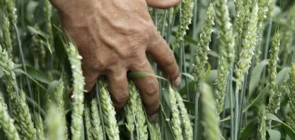 No Paraná, geadas requeimam milho, trigo e cana, e podem vir mais