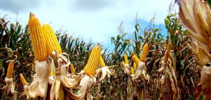 Açúcar natural diminui efeitos da seca na cultura do milho
