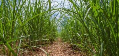 Especialista fala sobre manejo sustentável de pragas na cana-de-açúcar