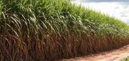 Uberaba é a maior produtora de cana do Brasil e a 36ª com maior Valor Bruto de Produção agrícola