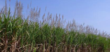 Pernambuco bate recorde em valor de produção agrícola puxado por cana-de-açúcar