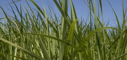 Usinas da Índia esperam preços mais altos para exportar açúcar