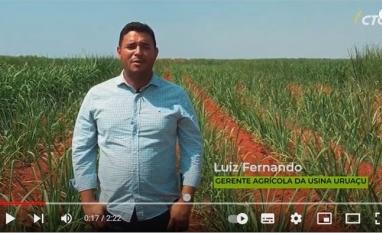 Variedade de cana modificada geneticamente já faz a diferença nos canaviais da Usina Uruaçu